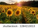 Field Of Sunflowers. Sunflowers ...