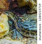 burmese python creeping around...   Shutterstock . vector #1284215719