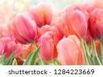 Pink tulips in pastel coral...