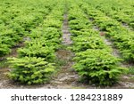 nordmann fir plantation in... | Shutterstock . vector #1284231889