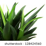 aloe vera plant isolated on... | Shutterstock . vector #128424560