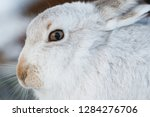 Stock photo white mountain hare lepus timidus in scottish highland these hare change their fur colour white 1284276706