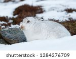 Stock photo white mountain hare lepus timidus in scottish highland these hare change their fur colour white 1284276709