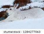 Stock photo white mountain hare lepus timidus in scottish highland these hare change their fur colour white 1284277063