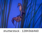 a sea horse hiding amongst the... | Shutterstock . vector #1284366460