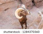 an arizona mountain goat... | Shutterstock . vector #1284370360