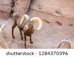 an arizona mountain goat... | Shutterstock . vector #1284370396