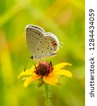 Tiny Little Eastern Tailed Blue ...