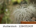 Tillandsia Tectorum In Pot On...