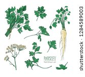 botanical drawing of parsley...   Shutterstock .eps vector #1284589003