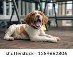 Stock photo brittany spaniel puppy 1284662806