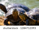 turtles in the sun on the lake ...   Shutterstock . vector #1284712393