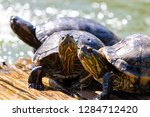 turtles in the sun on the lake ...   Shutterstock . vector #1284712420
