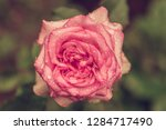 beautiful pink flowers in the...   Shutterstock . vector #1284717490