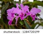 orchid in the botanical garden...   Shutterstock . vector #1284720199