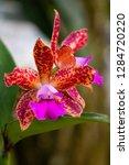 orchid in the botanical garden...   Shutterstock . vector #1284720220