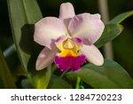 orchid in the botanical garden...   Shutterstock . vector #1284720223