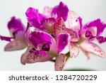 orchid in the botanical garden...   Shutterstock . vector #1284720229