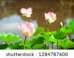 blooming lotus in the botanic...   Shutterstock . vector #1284787600