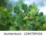 oak on the botanical garden....   Shutterstock . vector #1284789436