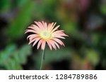beautifyl gerbera flowers | Shutterstock . vector #1284789886