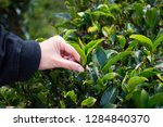 close up of tea leaf at local...   Shutterstock . vector #1284840370