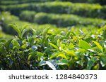 close up of tea leaf at local...   Shutterstock . vector #1284840373