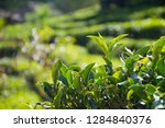 close up of tea leaf at local...   Shutterstock . vector #1284840376