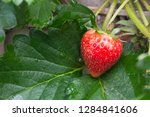 close up of fresh strawberry...   Shutterstock . vector #1284841606