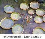 gigantic victoria waterlilies...   Shutterstock . vector #1284842533