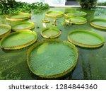 gigantic victoria waterlilies...   Shutterstock . vector #1284844360