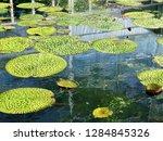gigantic victoria waterlilies...   Shutterstock . vector #1284845326