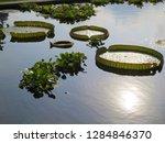 gigantic victoria waterlilies...   Shutterstock . vector #1284846370