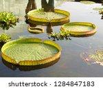 gigantic victoria waterlilies...   Shutterstock . vector #1284847183