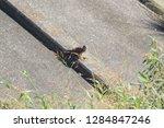 sturgeon living in an urban... | Shutterstock . vector #1284847246