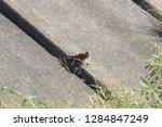 sturgeon living in an urban... | Shutterstock . vector #1284847249