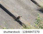 sturgeon living in an urban... | Shutterstock . vector #1284847270
