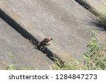 sturgeon living in an urban... | Shutterstock . vector #1284847273