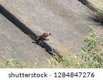 sturgeon living in an urban... | Shutterstock . vector #1284847276