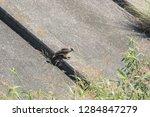 sturgeon living in an urban... | Shutterstock . vector #1284847279