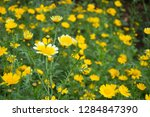 close up of marigold flower at...   Shutterstock . vector #1284847390