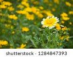 close up of marigold flower at...   Shutterstock . vector #1284847393