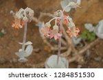 flowers in kirstenbosch...   Shutterstock . vector #1284851530