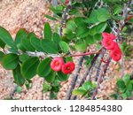 succulent plant with tiny red...   Shutterstock . vector #1284854380