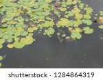 lily pads floating on a pond in ...   Shutterstock . vector #1284864319