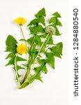 common dandelion botanical board   Shutterstock . vector #1284880540