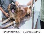 veterinarian is giving dog a... | Shutterstock . vector #1284882349