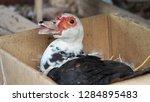 one duck is hatching duck eggs... | Shutterstock . vector #1284895483