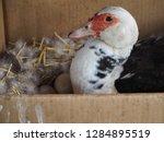 one duck is hatching duck eggs... | Shutterstock . vector #1284895519
