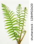 male fern botanical board   Shutterstock . vector #1284902620